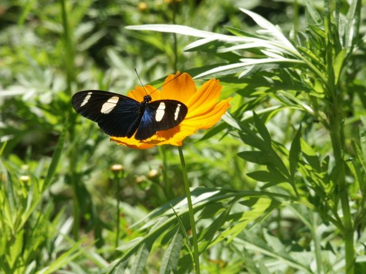 Mariposa fotografiada en Perú.